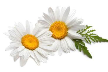 lina-levien-chamomile