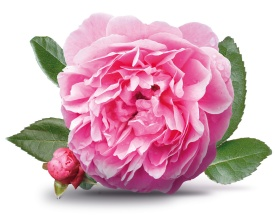 LL-damask-rose-bulgaria-rose-water-cleopatra-beauty-secrets